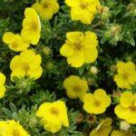 Gelber Fünffingerstrauch (Potentilla fruticosa 'Kobold'), topfgewachsen - p9-topf-9x9-cm-ca-0-5-l - 15-bis-20