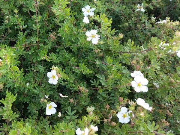 Weißer Fünffingerstrauch (Potentilla fruticosa 'Mandshurica'), topfgewachsen
