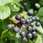 Früchte von Roter Hartriegel - cornus sanguinea