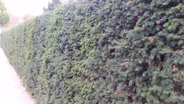 Eibe (Taxus baccata), Container-Heckenpflanze