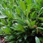 Breitwüchsiger Kirschlorbeer 'Otto Luyken' (Prunus laurocerasus 'Otto Luyken') - 30-bis-40