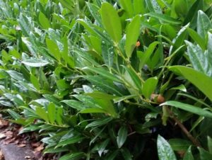 Breitwüchsiger Kirschlorbeer 'Otto Luyken' (Prunus laurocerasus 'Otto Luyken')