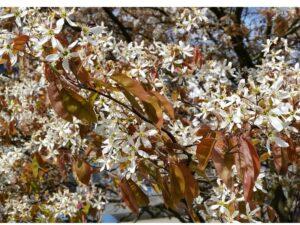 Kupfer-Felsenbirne (Amelanchier lamarckii), topfgewachsen