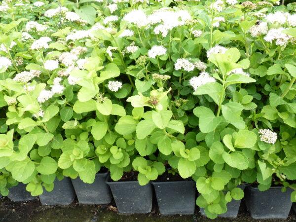 Birkenblättriger Spierstrauch (Spiraea betulifolia), topfgewachsen