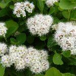 Birkenblättriger Spierstrauch (Spiraea betulifolia) - ca-1-liter - 20-bis-30 - 4-bis-6