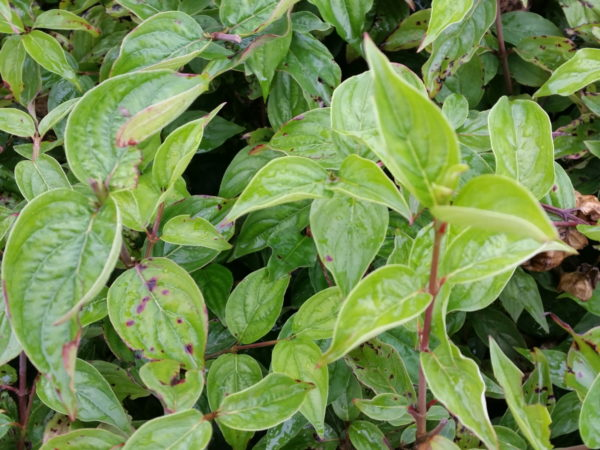 Gelber Hartriegel (Cornus mas)