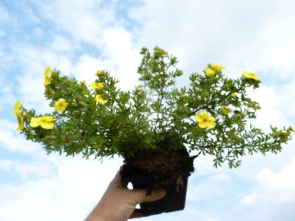 Gelber Fünffingerstrauch (Potentilla fruticosa 'Kobold'), topfgewachsen
