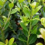 Berg-Ilex 'Green Hedge' (Ilex crenata