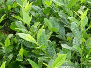 Kirschlorbeer Diana (Prunus laurocerasus 'Diana'), topfgewachsen