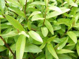 Zwergliguster (Ligustrum vulgare Lodense)