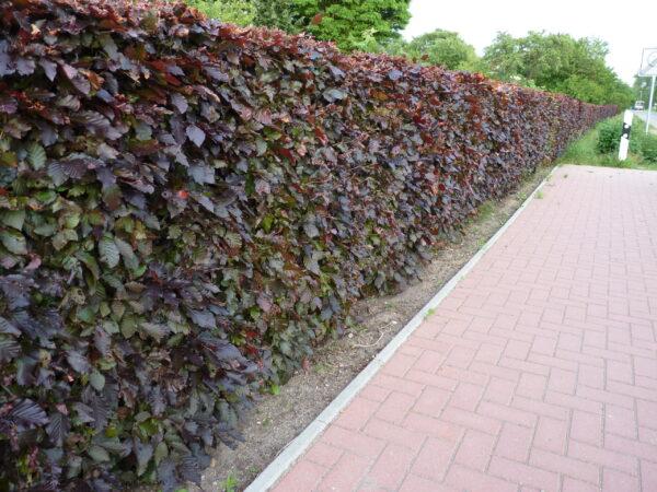 Blutbuche (Fagus sylvatica 'purpurea')