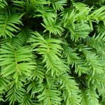Eibe (Taxus baccata), Container-Heckenpflanze - 20-bis-30