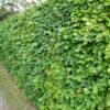 Rotbuche (Fagus sylvatica), topfgewachsen - ca-3-liter - 80-bis-100
