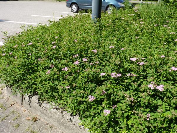 Rosa Zwergspiere (Spiraea japonica 'Little Princess'), topfgewachsen