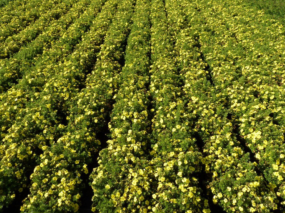 Gelber Fünffingerstrauch Potentilla Kobold im Pflanzenbeet