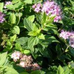 Rosa Zwergspiere (Spiraea japonica 'Little Princess') - ca-1-liter - 20-bis-30 - 4-bis-6