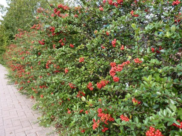 Roter Feuerdorn (Pyracantha coccinea 'Red Column')