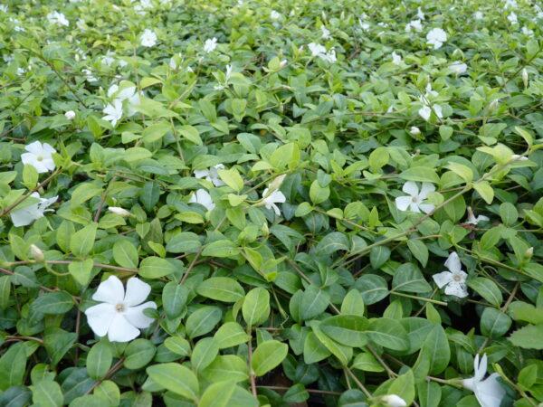 Kleines weißes Immergrün (Vinca Minor 'alba')