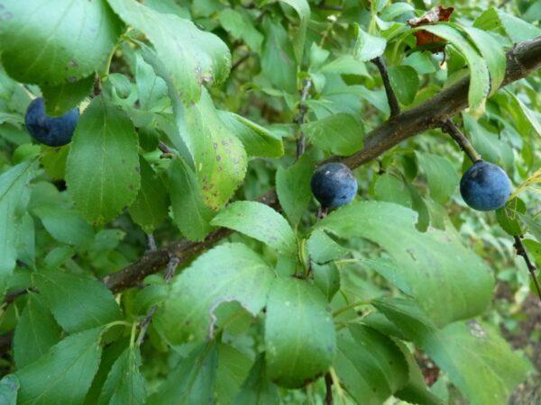 Schlehe (Prunus Spinosa), topfgewachsen