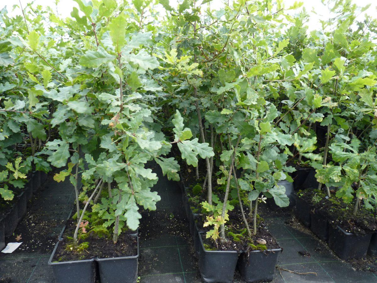 Deutsche Eiche (Quercus Robur), Als Günstige Topfpflanze
