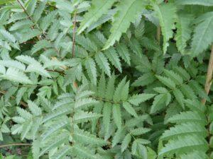 Vogelbeere oder Eberesche (Sorbus aucuparia, L. ; Syn. Pyrus aucuparia), topfgewachsen