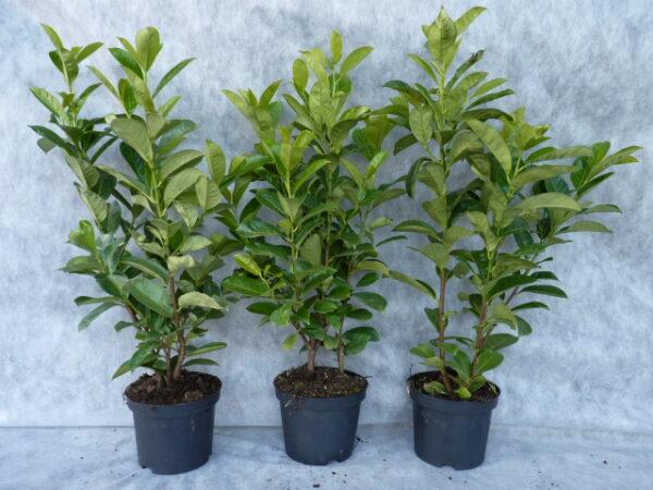 Großblättriger Kirschlorbeer (Prunus laurocerasus 'Rotundifolia'), Heckenpflanze