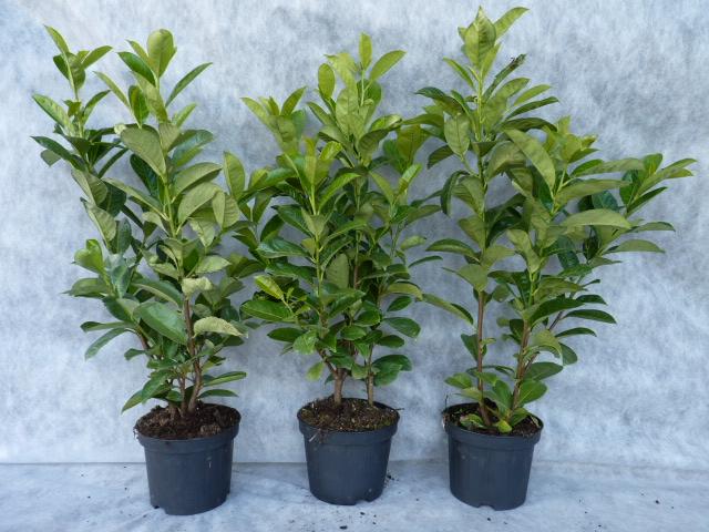 kirschlorbeerhecke rotundifolia jetzt hier kaufen jederzeit pflanzbar. Black Bedroom Furniture Sets. Home Design Ideas