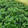 Kirschlorbeer 'Etna' (Prunus laurocerasus Etna), topfgewachsen - 80-bis-100
