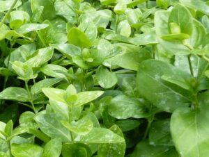 Großes Immergrün (Vinca major), topfgewachsen