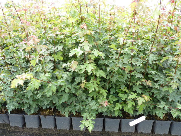 Feldahorn (Acer Campestre), Topfware