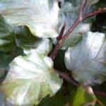 Blutbuche (Fagus sylvatica 'purpurea') - 50-bis-80