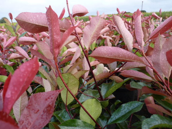 Rote Glanzmispel (Photinia fraseri 'Red Robin')
