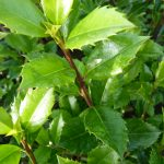 Stechpalme 'Heckenstar' (Ilex Heckenstar), topfgewachsen - 40-bis-60