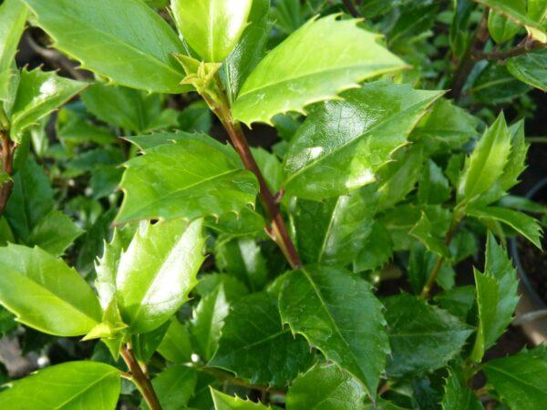 Stechpalme 'Heckenstar' (Ilex Heckenstar), topfgewachsen