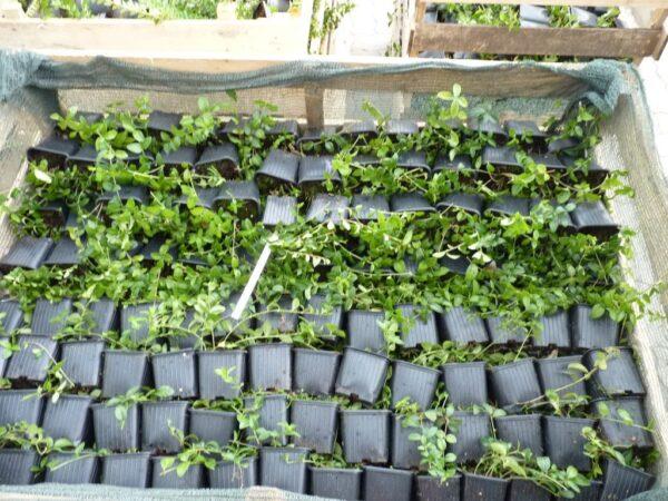 Kleinblättriges Immergrün (Vinca Minor), topfgewachsen