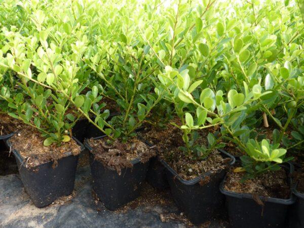 "Berg-Ilex 'Green Hedge' (Ilex crenata ""Green Hedge""), topfgewachsen"