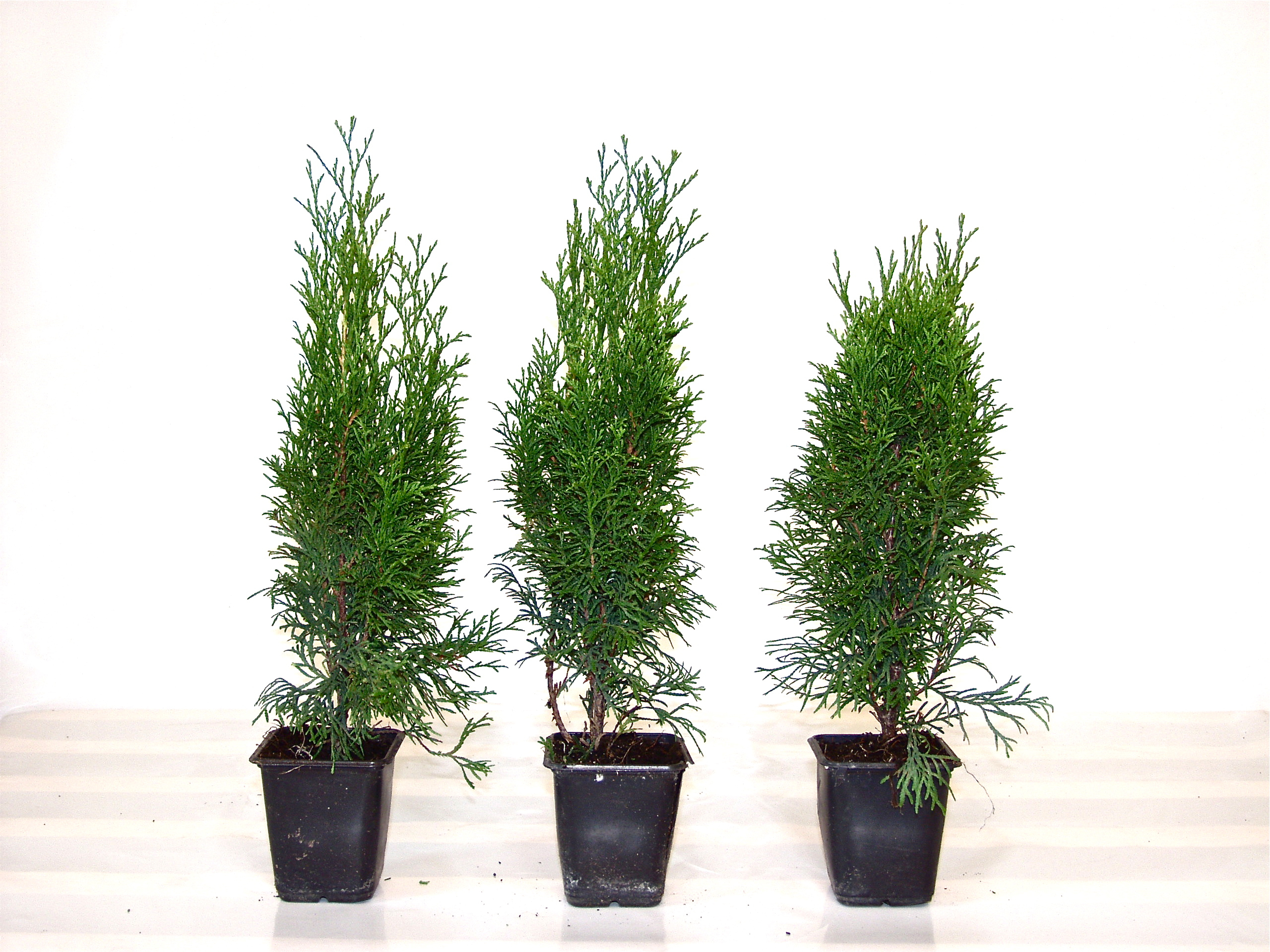 Thuja Smaragd 80-100cm Containerpflanzen