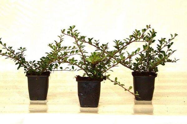 Zwergmispel Eichholz (Cotoneaster dammeri 'Eichholz')
