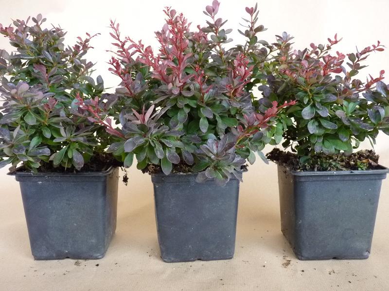 kleine blutberberitze berberis t 39 atropurpurea nana 39 g nstig kaufen. Black Bedroom Furniture Sets. Home Design Ideas