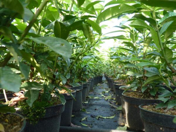 Säulen-Kirschlorbeer Genolia (Prunus laurocerasus Genolia®)