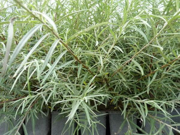 Rosmarinweide (Salix rosmarinifolia), topfgewachsen