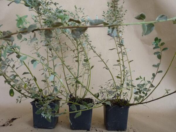 Silber-Kriechweide (Salix repens argentea), topfgewachsen
