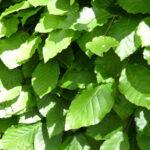Rotbuche (Fagus sylvatica), topfgewachsen - ca-1-liter - 50-bis-80