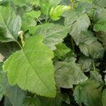 Elsbeere (Sorbus Torminalis L., Alzbeere), topfgewachsen - p9-topf-9x9-cm-ca-0-5-l - 15-bis-30
