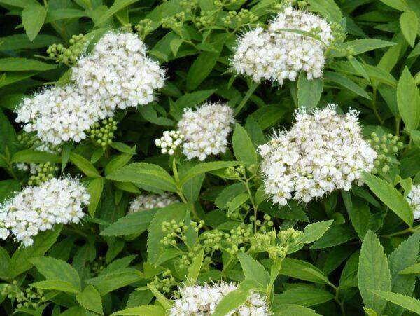 Weiße Zwergspiere (Spiraea japonica Albiflora)