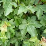 Feldahorn (Acer Campestre), Topfware - 60-bis-80