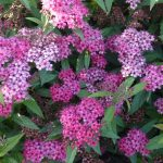 Blüte von der Roten Sommerspiere Spiraea Anthony Waterer