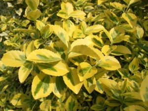 Gelbbunter Spindelstrauch (Euonymus fortunei 'emerald gold')