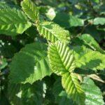 Hainbuche (Carpinus betulus) - ca-75-liter - 175-bis-200