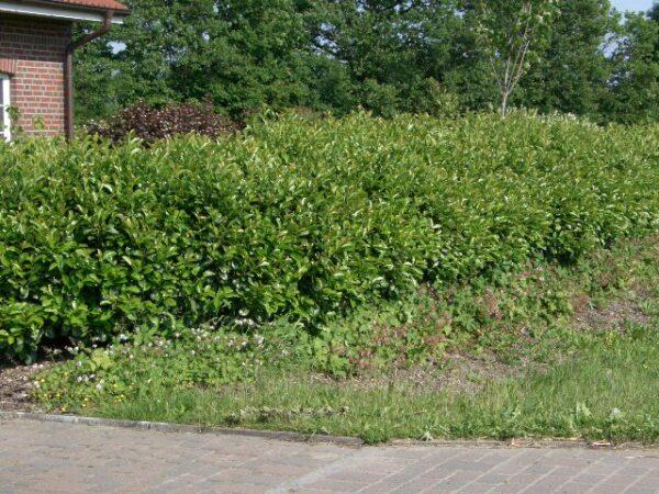 Kirschlorbeer 'Etna' (Prunus laurocerasus Etna), topfgewachsen